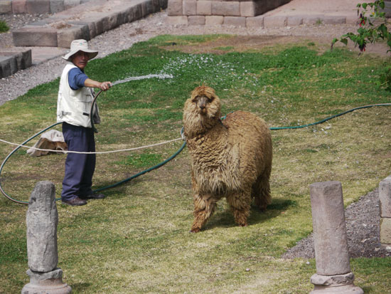 alpaca getting washed